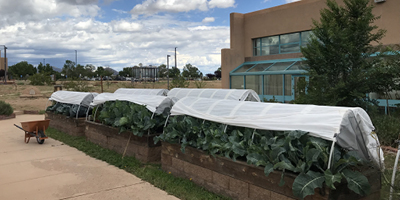 Lush greens have emerged in the Culinary Arts Garden this summer.
